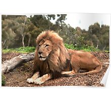 Lion at Werribee Poster