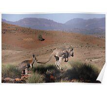 Roos at Flinders Rangers National Park, SA Poster