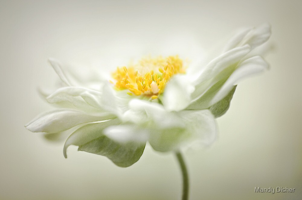 Anemone pure by Mandy Disher