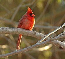 Northern Cardinal Songbird  - Cardinalis cardinalis  #2 by MotherNature