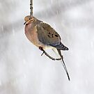 Mourning Dove Songbird - Zenaida macroura on Twig by MotherNature