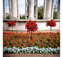 Three red bushes Photographic Print
