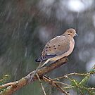 Mourning Dove Songbird - Zenaida macroura on Evergreen by MotherNature