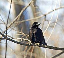 American Crow  - Corvus brachyrhynchos by MotherNature