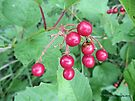 Red Berries by Barberelli