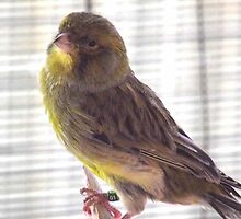 Whistling in the Sun - Male Canary. by Carol Appelbee