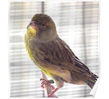 Whistling in the Sun - Male Canary. Poster