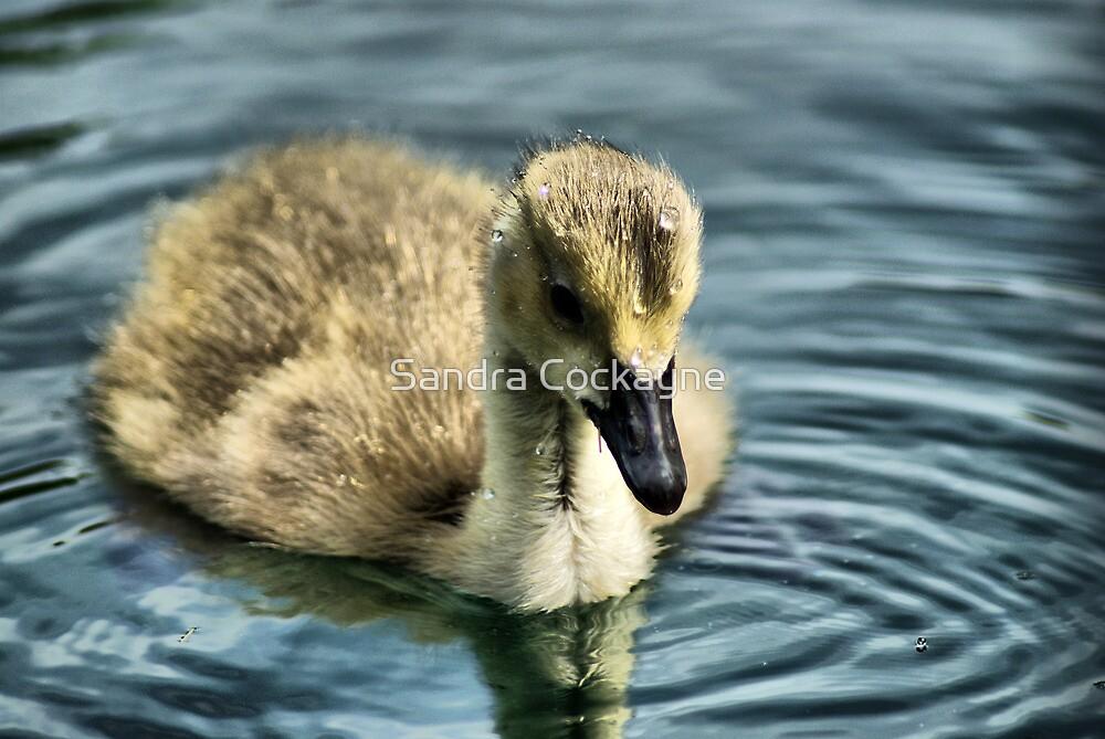 Duck Down  by Sandra Cockayne