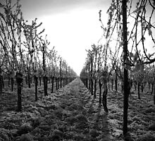December frost on vineyard by Erisgo