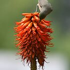 Bird sitting on Aloe - South Africa by Mauds