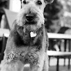Airedale Alert by cherylwelch