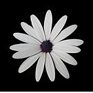 White Daisy on black by R-Summers