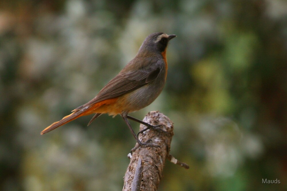 """Dont fly to high... """"Cape Robin"""" Bloemfontein, Free State, South Africa by Mauds"""