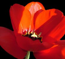 Gorgeous red tulip flower in black photo art by naturematters