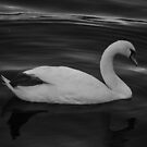 Swan Elegance by AcePhotography