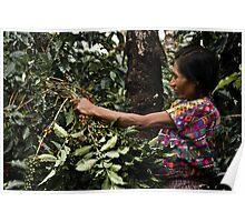 harvesting coffee Poster