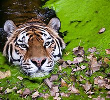 Swimming Siberian Tiger by MertensS