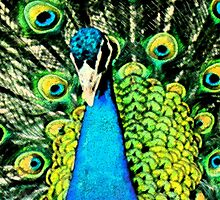 Pen & Ink....Peacock.... by Sandra Cockayne
