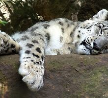 The snow leopard (Panthera uncia) by theorangeraven