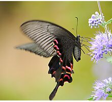 butterfly with long tail Photographic Print