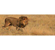 Lion - Etosha National Park Photographic Print
