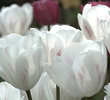 White Tulips by Lena127