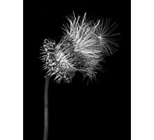 Blooming Thistle #6 Photographic Print