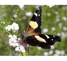 Australian Admiral Butterfly - Vanessa itea - Adelaide, Australia Photographic Print