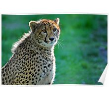 A Cheetah At Orana Wildlife Reserve, Christchurch. South Island, New Zealand. Poster