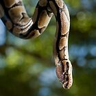 Ball Python in a Tree by Kate Krutzner