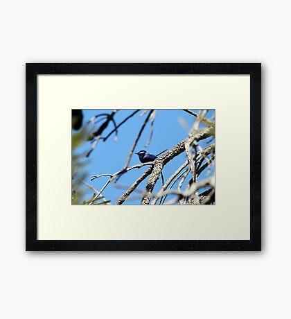 Splendid Fair Wren Framed Print