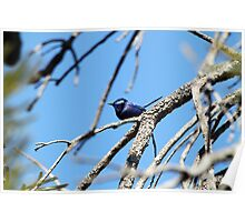 Splendid Fair Wren Poster