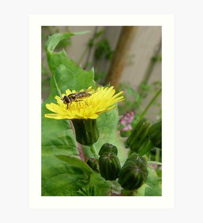 Hover Fly on Milk Thistle Flower Art Print