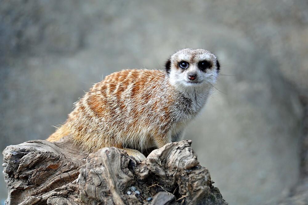 Meerkat At The Orana Wildlife Centre, Christchurch. South Island, New Zealand. by Ralph de Zilva