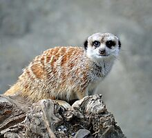 Meerkat At The Orana Wildlife Centre, Christchurch. South Island, New Zealand. by Ralph de Zilva