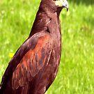 Eagle by Trevor Kersley