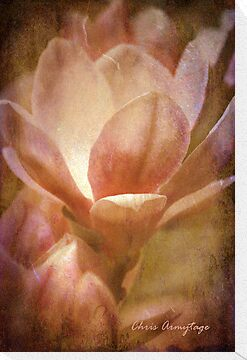 Magnolias 1 by Chris Armytage™