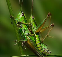 Grasshopper copulation in the grass by Patrik Ruzic