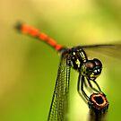 Dragonfly on Perch II by Amran Noordin