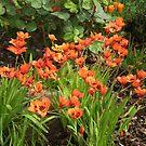 Orange corner- Ixias in full bloom - spring 2010 by EdsMum