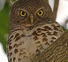 Barred owl by jozi1