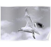 Gull in flight... Dorset UK Poster