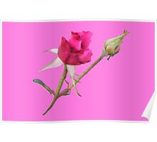 Red Rose with bud on Pink Poster