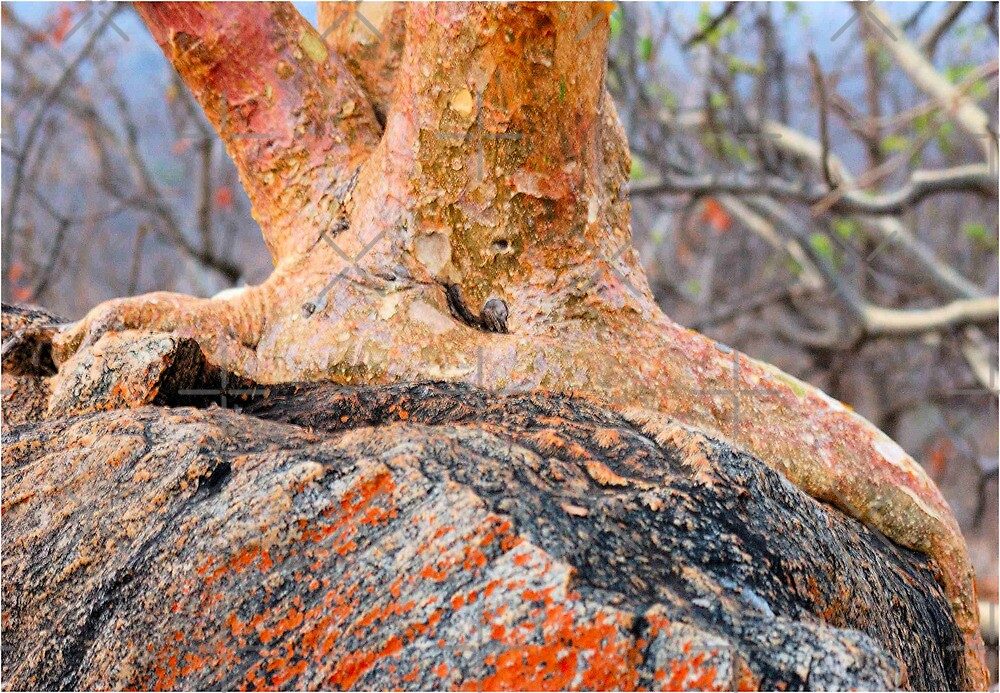 ANCHORED FOR LIFE - Root of the Rock Fig by Magriet Meintjes