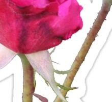 Red Rose with bud on Pink Sticker