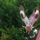 Fly Away KOOKABURRA by LESLEY BUtler