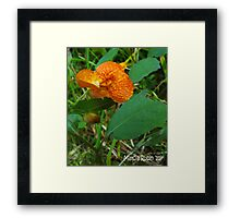 Orange Jewelweed (Impatiens capensis) Framed Print
