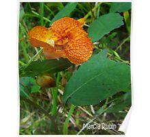 Orange Jewelweed (Impatiens capensis) Poster