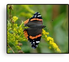 Red Admiral on Goldenrod... Canvas Print