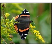 Red Admiral on Goldenrod... Photographic Print